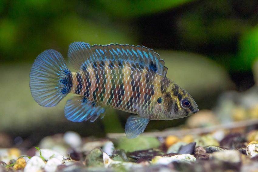 Badis o niebieskich płetwach oraz zestawienie TOP 10 najciekawszych rybek akwariowych do domu