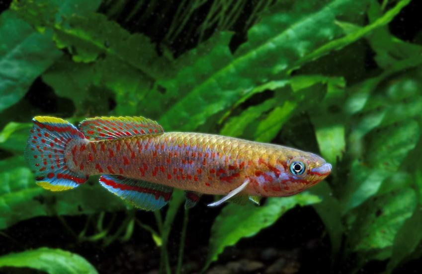 Cap Lopez, czyli ciekawa kolorowa rybka, a także TOP 10 rybek do akwarium krok po kroku