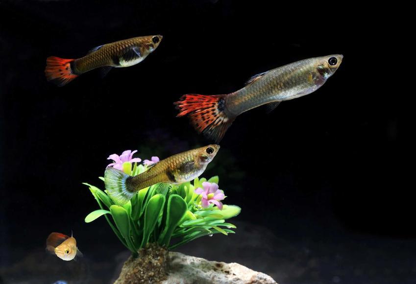 Gupiki o kolorowych ogonkach, a także TOP 10 rybek akwariowych krok po kroku