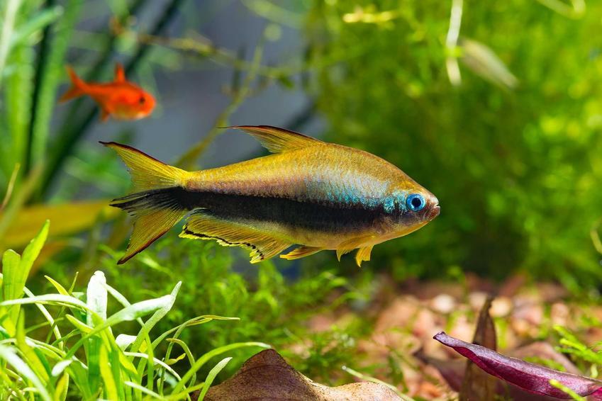Żółta tetra cesarska w akwarium na tle roślin w akwarium oraz TOP 10 rybek akwariowych
