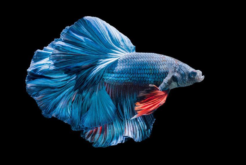 Wspaniały bojownik o niebieskim kolorze, a także TOP 10 najbardziej popularnych i cenionych ryb do akwarium