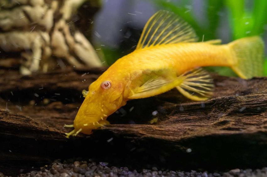 Żółty glonojad w akwarium, a także TOP 10 ryb do akwarium, czyli zestawienie ciekawych i popularnych rybek akwariowych