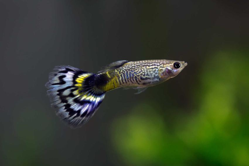 Samiec gupika o kolorowym ogonie, a także TOP 10 ryb akwariowych, które są najbardziej popularne