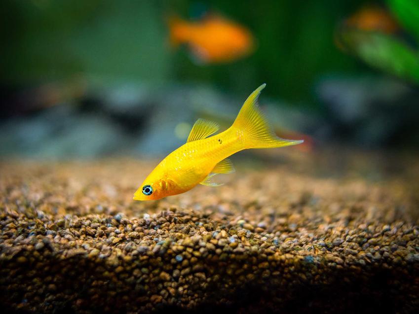 Żółta molinezja, bardzo popularna ryba do akwarium, a także TOP 10 ryb idealnych do akwarium