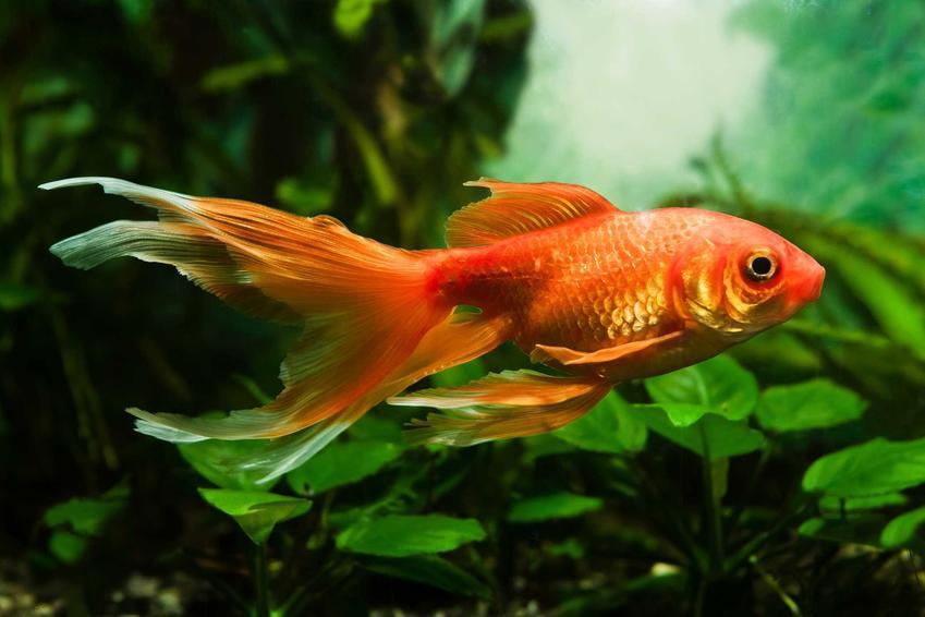 Welonek o pomarańczowym ogonie, a także popularne ryby do akwarium, czyli TOP 10 najpopularniejszych ryb do akwarium