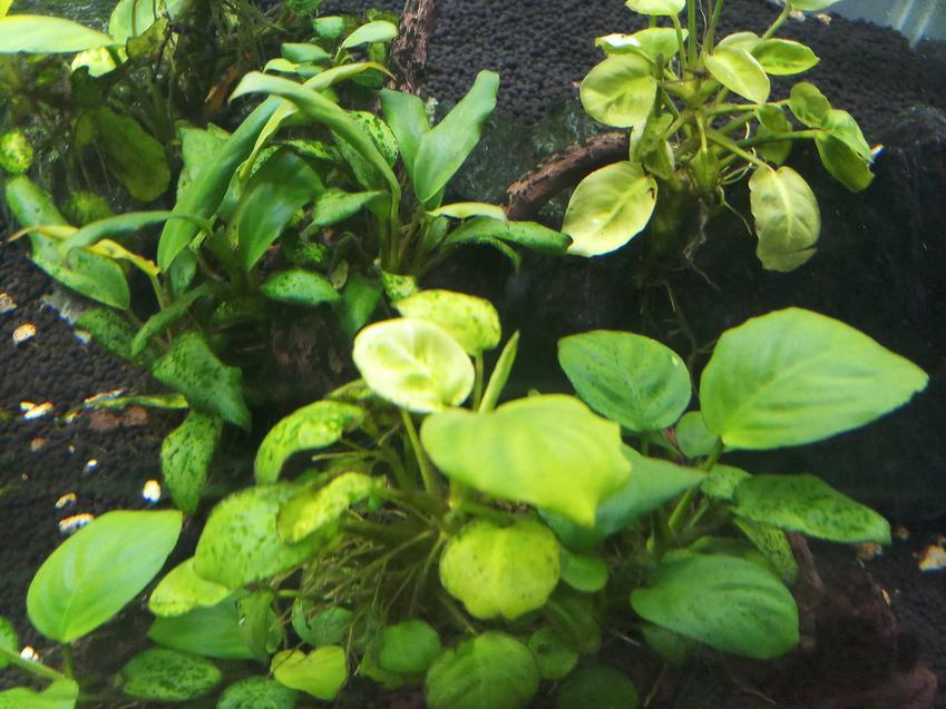 Roślina anubias rosnąca w akwarium, a także wymagania, sadzenie oraz pielęgnacja rośliny dla początkujacych akwarystów