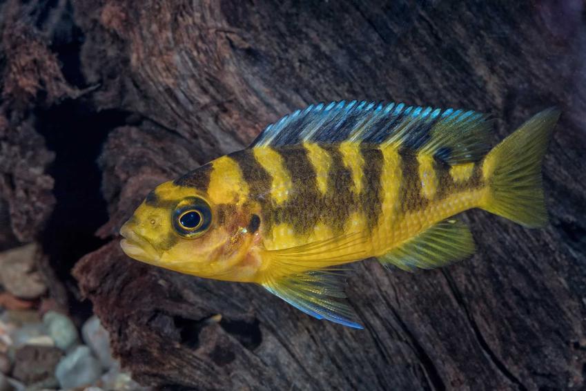 Ryba z grupy mubuna, a także informacje, jak założyć akwarium Malawi, czyli wzorowane na jeziorze Malawi krok po kroku