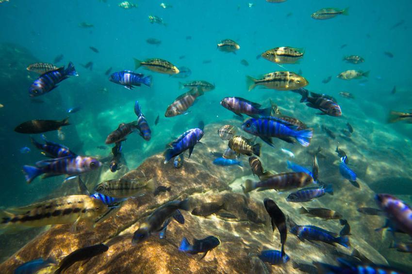 Ryby w jeziorze Malawi, a także informacje, jak założyć akwarium Malawi w praktyce - wybór gatunków i rośliny