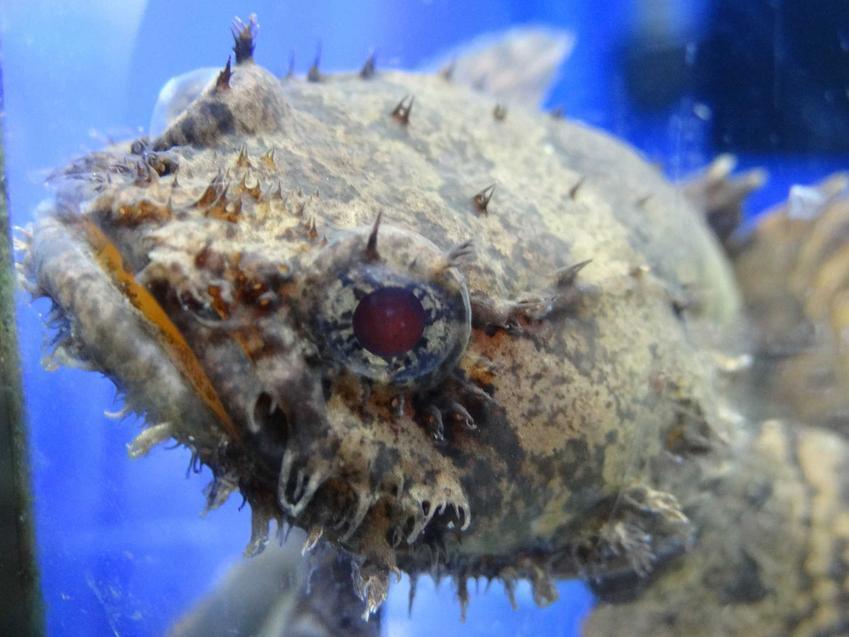 Batrach, a także TOP 10 dziwnych gatunków ryb do akwarium, zdjęcia oraz opis gatunków