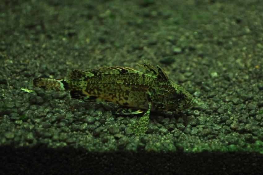 Neovespicula na dnie akwarium, a także TOP 10 najdziwniejszych i najciekawszych gatunków ryb