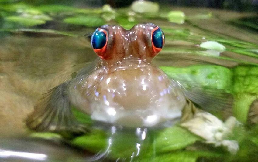 Poskoczek o niebieskich oczkach w akawarium, a także TOP 10 innych ciekawych i dziwnych gatunków rybek akwariowych