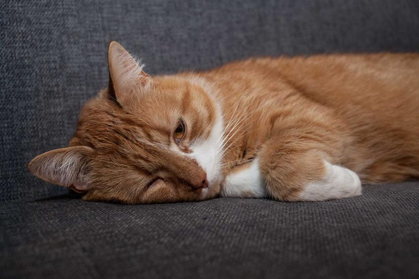 Chory i smutny kot cierpiący na bąblowicę, czyli oznaki choroby, leczenie oraz zapobieganie