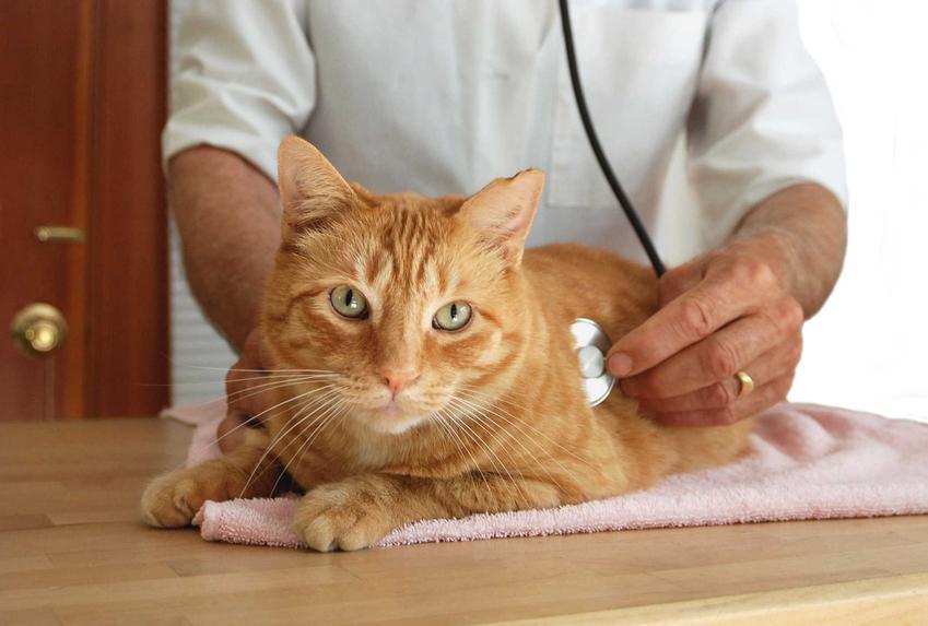 Kot podczas badań u weterynarza, a także bąblowica u kota - rozpoznanie, symptomy, leczenie oraz zapobieganie schorzeniu