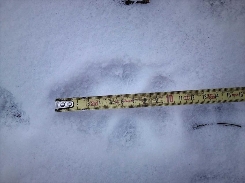 Ślady zwierząt na śniegu w czasie mierzenia, a także informacje, czy w lesie mieszkają zwierzęta: dziki, jelenie oraz wilki