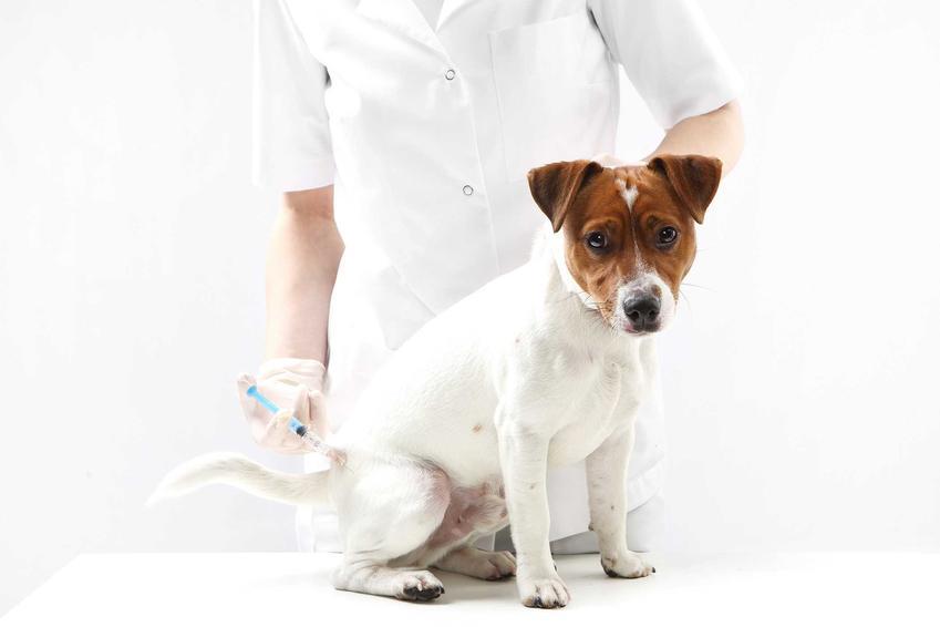 Badanie krwi u psa przez weterynarza, a także przygotowanie psa, pobranie krwi, normy podstawowych badań oraz cena