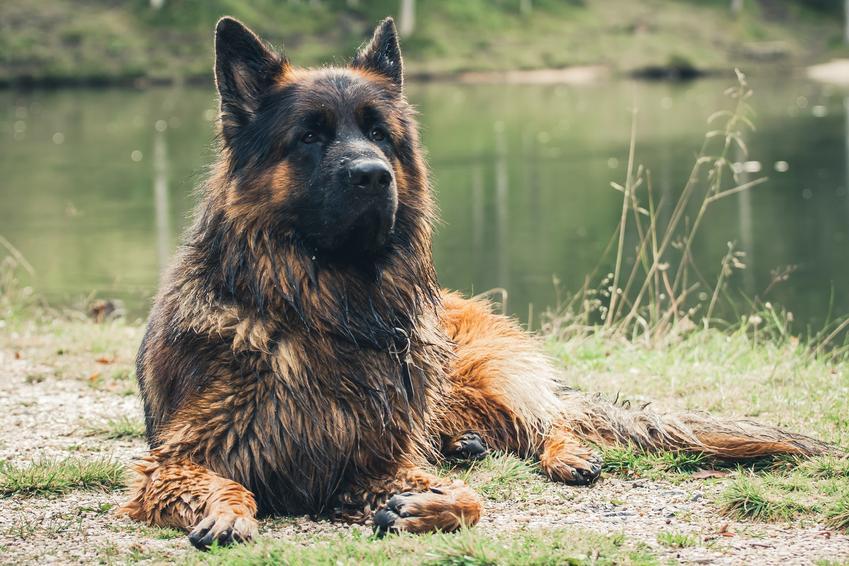 Duży owczarek niemiecki leżący na trawie na tle jeziora oraz waga owczarka niemieckiego
