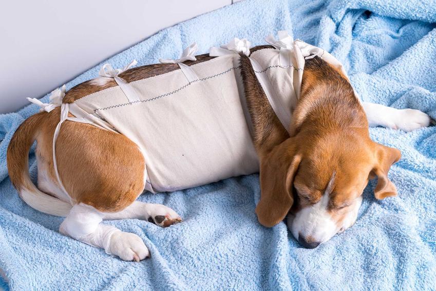Suka po sterylizacji w ubranku pooperacyjnym, a także informacje, kiedy sterylizować psa
