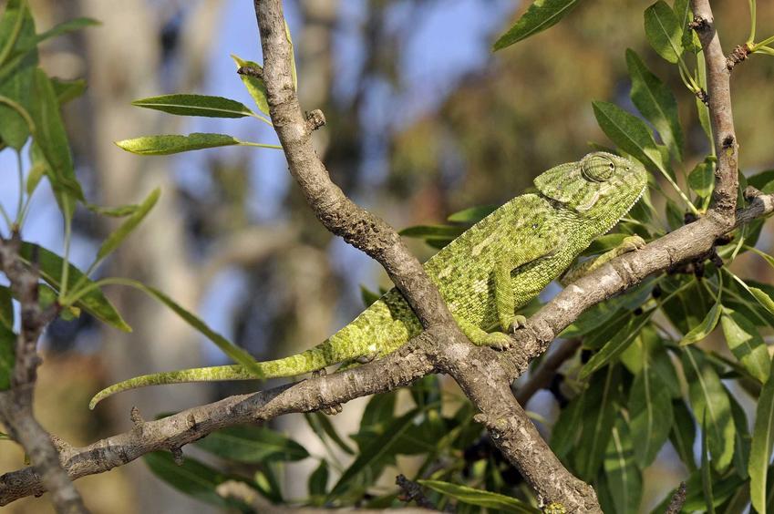 Zielony kameleon siedzący na drzewie, a także opis gatunku, występowanie oraz hodowla i porady