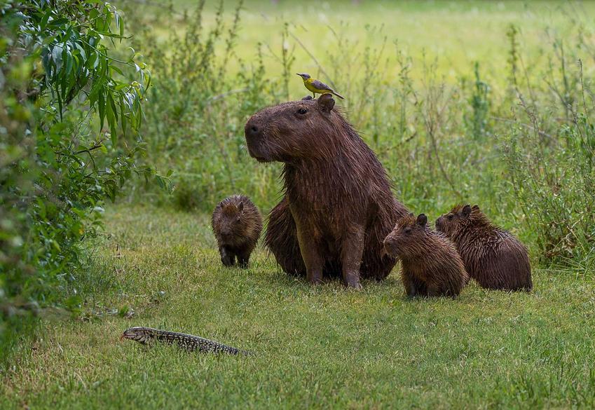 Kapibara z młodymi kapibarami na pastwisku, a także opis zwierzęcia, występowanie oraz hodowla