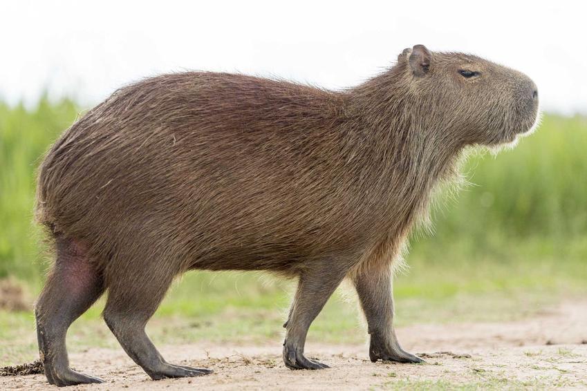 Kapibara w naturalnym środowisku, a także opis, występowanie, wymagania pielęgnacyjne w hodowli w domu