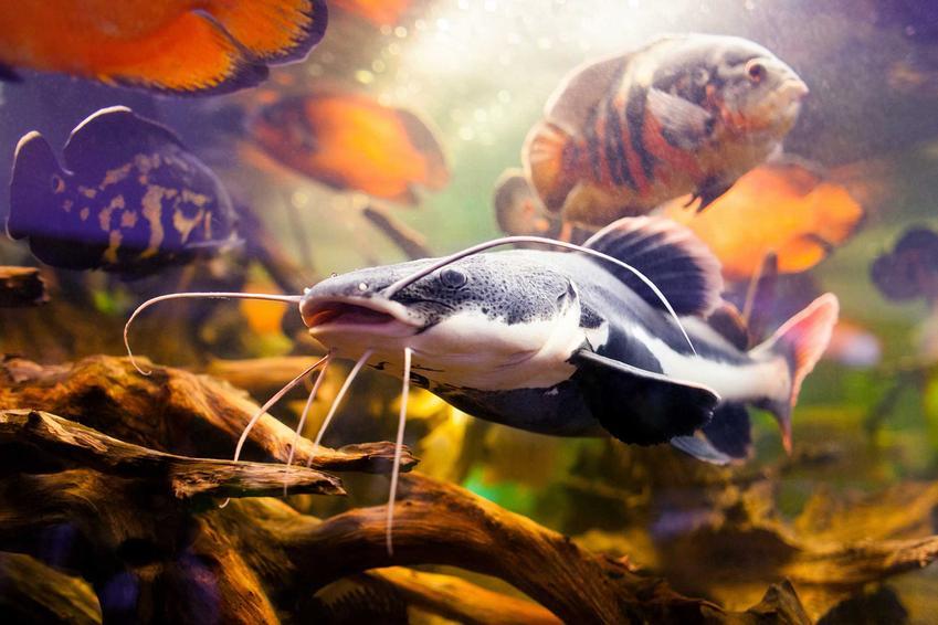 Sum w akwarium w otoczeniu innych rybek, a także opis, wymagania, hodowla oraz zdjęcia