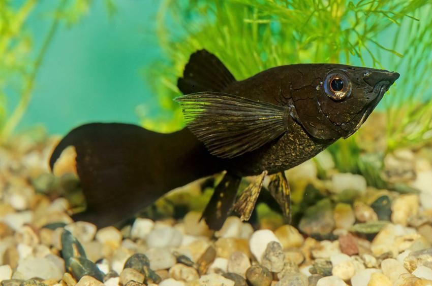 Molinezja czarna o pięknych płetwach, a także opis, cena, hodowla oraz rozmnażanie