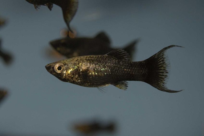 Molinezja czarna pływająca w akwarium, a także opis ryby, hodowla, pielęgnacja i wymagania