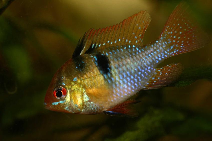 Apistogramma w akwarium, a także gatunki, występowanie, hodowla w akwarium oraz porady