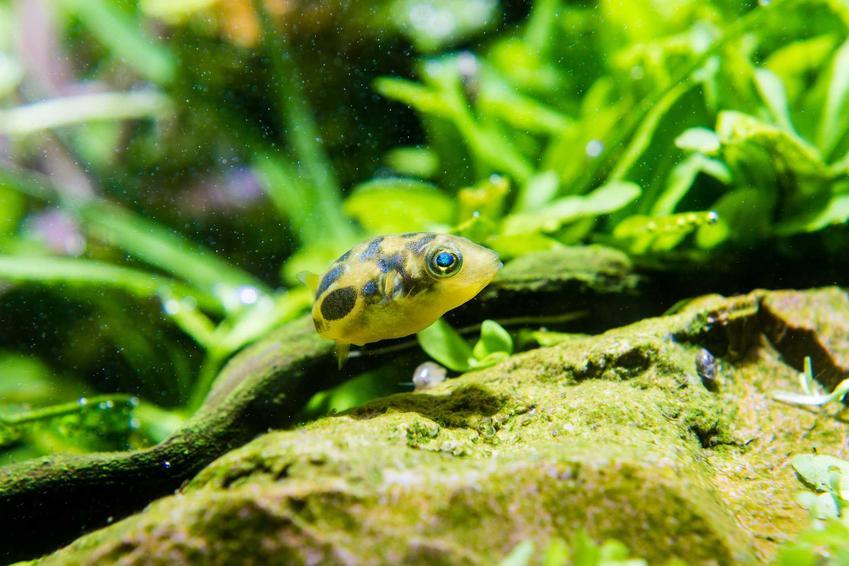 Kolcobrzuch karłowaty w akwarium, a także informacje o gatunku, wymagania, żywienie oraz hodowla krok po kroku