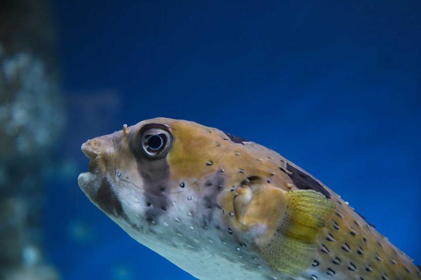 Kolcobrzuch karłowaty z bliska, a także informacje o gatunku, wymagania, żywienie, hodowla w akwarium i porady