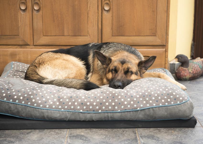 Pies rasy owczarek niemiecji lężący na posłaniu, a także legowisko dla owczarka niemieckiego
