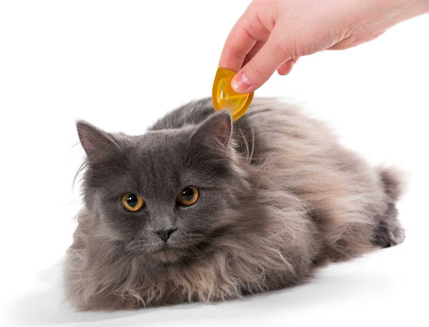 Zakrapianie kota przeciw kleszczom, a także borelioza u kota, objawy, leczenie oraz rozpoznanie