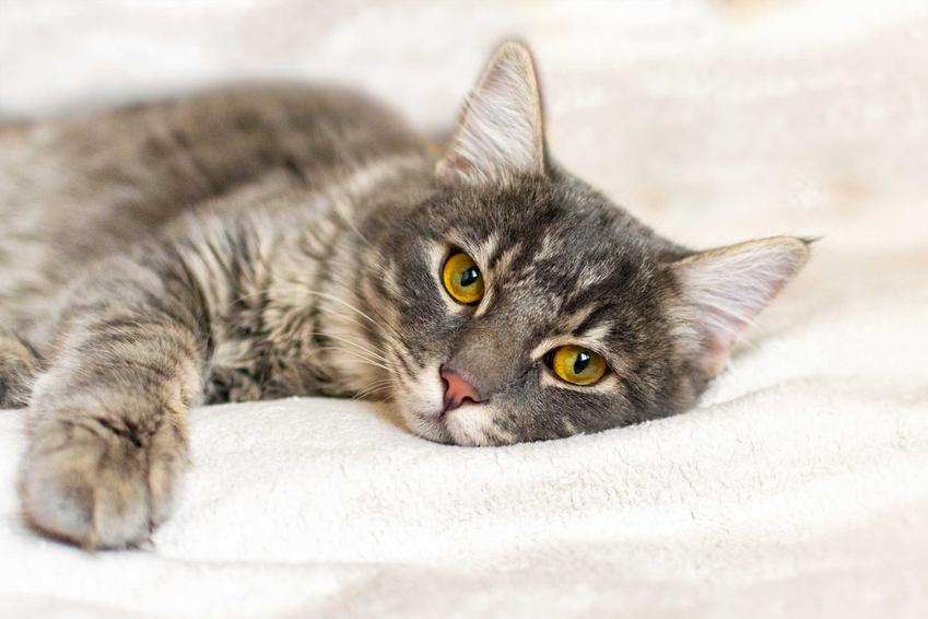 FIP u kota, czyli poważana choroba oraz jej przyczyny, przebieg, objawy, diagnostyka oraz leczenie