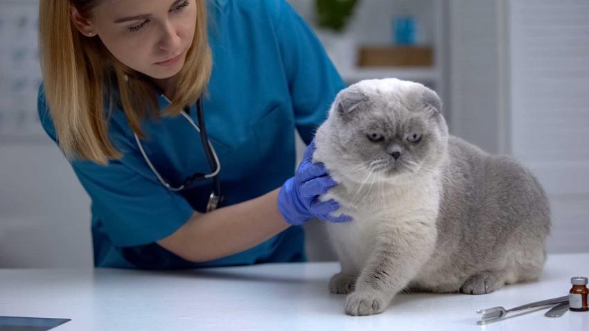 Kot u weterynarza podczas diagnostyki FIP, a także objawy choroby, przyczyny, badania oraz leczenie