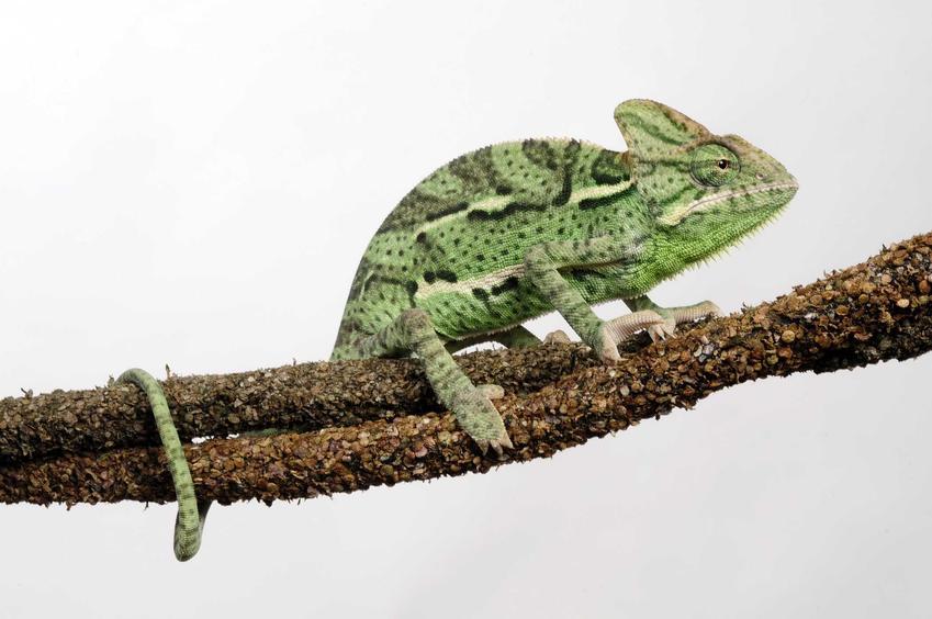 Kameleon jemeński na gałęzi, a także dokładny opis zwierzęcia, występowanie gatunku oraz hodowla
