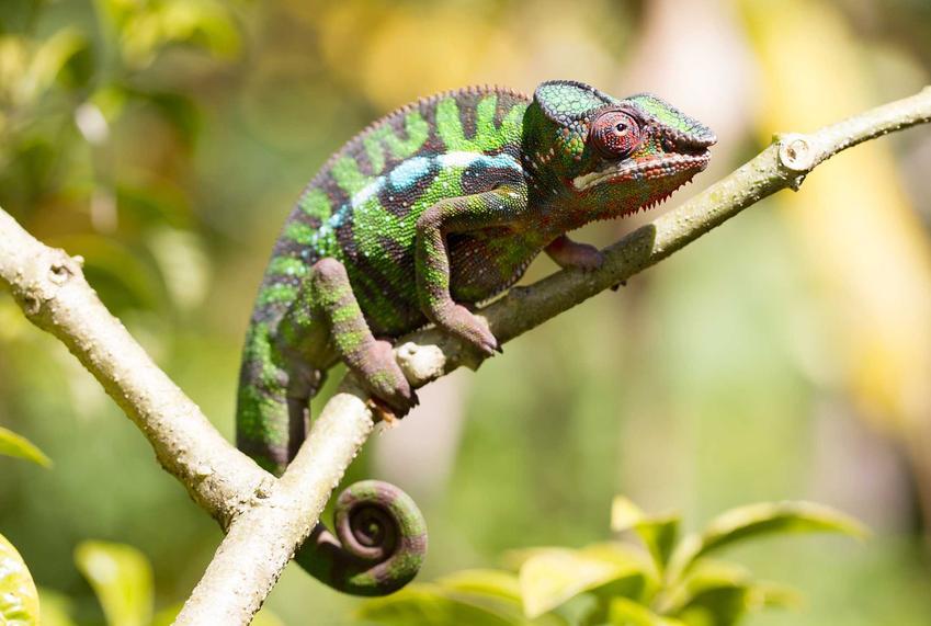 Kameleon lamparci na gałęzi, a także charakterystyka, wymagania, pielęgnacja oraz żywienie
