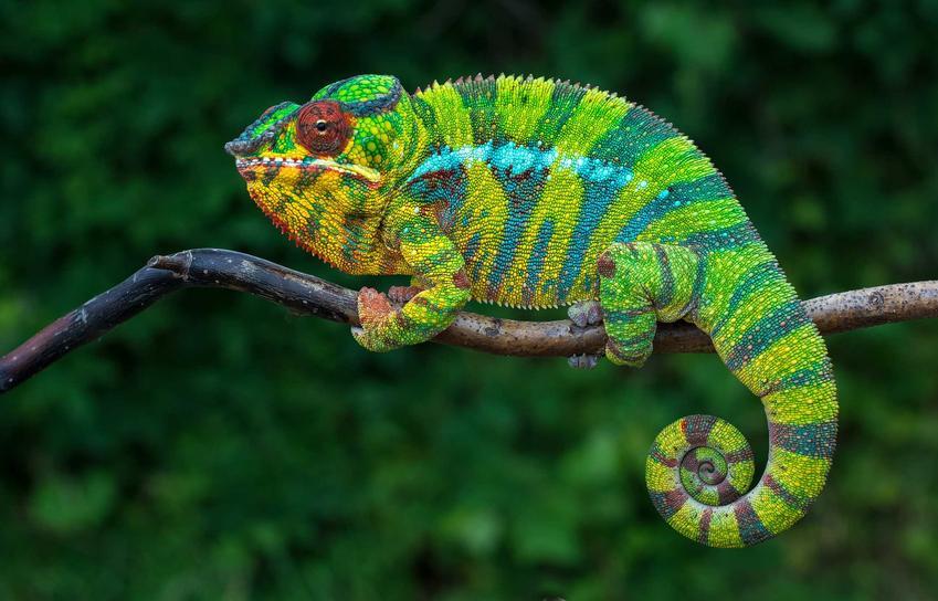 Kameleon lamparci w zielone paski, a także charakterystyka i opis zwierzęcia, wymagania oraz porady dla hodowców
