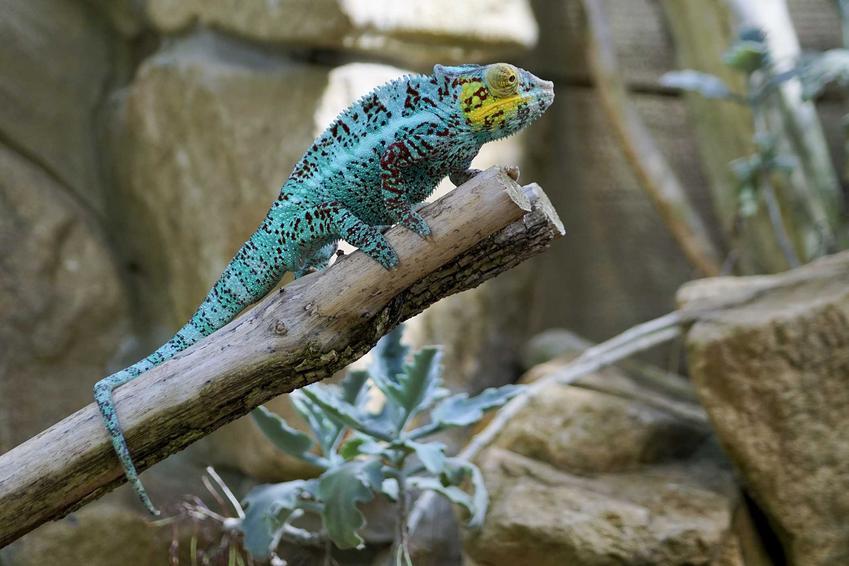 Kameleon siedzący w terrarium, a także jak przygotować terrarium dla kameleona krok po kroku, czyli najważniejsze elementy wyposażenia terrarium