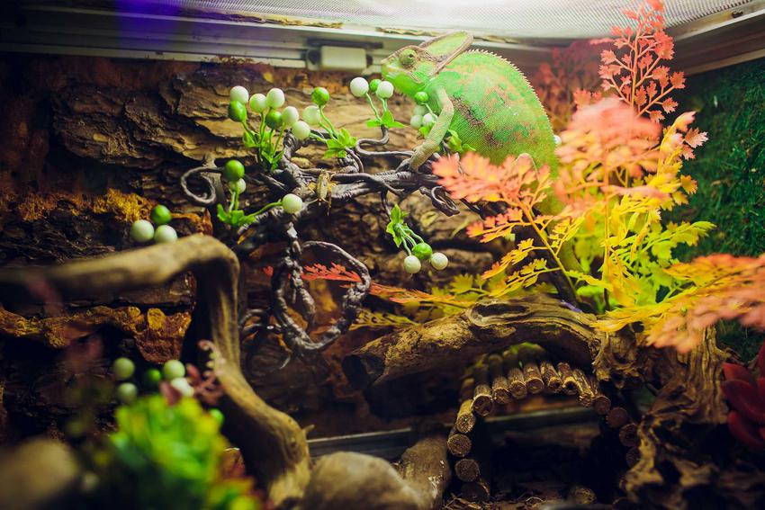 Terrarium dla kameleona z korzeniami i roślinami, a także jak przygotować terrarium dla kameleona krok po kroku