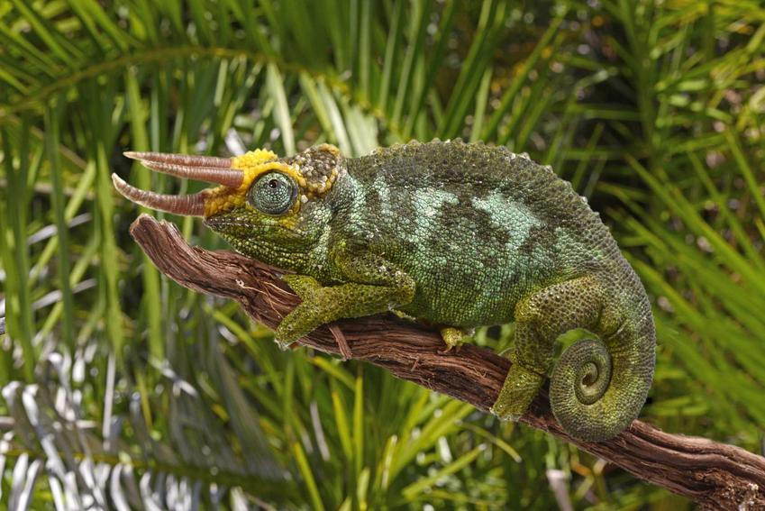 Zielony kameleon Jacksona o trzech rogach, a także informacje, hodowla, porady oraz wymagania zwierzęcia