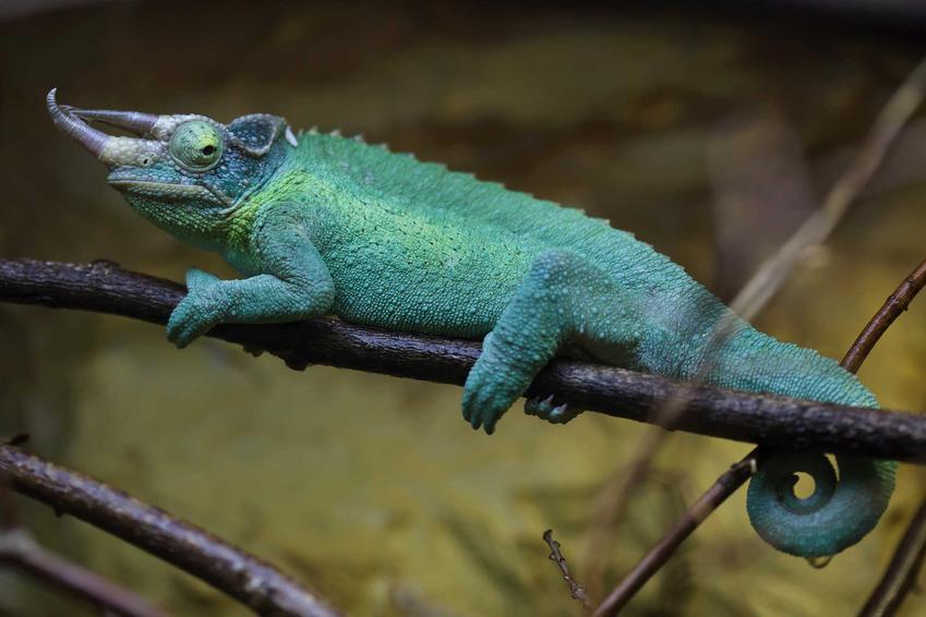 Niebieski kameleon Jacksona z trzema rogami na gałęzi, a także informacje i opis oraz hodowla i porady dla właścicieli