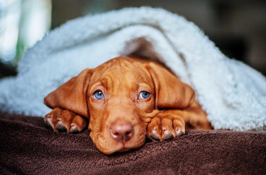 Szczenię psa rasy vizsla, czyli wyżeł krótkowłosy, zawinięty w niebieski ręcznik, opis i charakterystyka rasy, usposobienie i porady dla hodowców