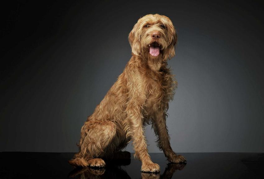 Dorosły pies rasy wyżeł szorstkowłosy Vizsla, a także opis i charakterystyka, usposobienie oraz wymagania i porady