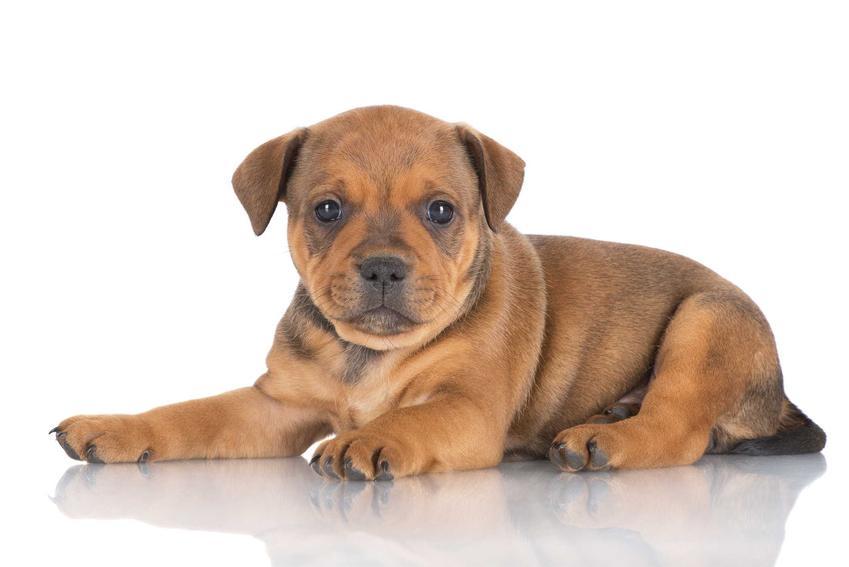 Brązowe szczenię rasy Staffordshire Bull Terrier, czyli mały staffik i jego usposobienie, wygląd, wymagania oraz hodowla krok po kroku