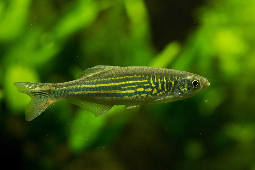 Damio malabarskie w akwarium na tle roślin, a także wymagania rybki, opis oraz hodowla krok po kroku