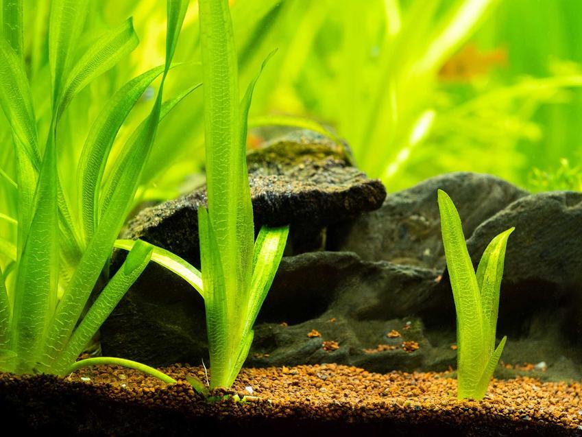 Nurzaniec olbrzymi posadzony w akwarium obok kamieni, a także opis gatunku, pielęgnacja rośliny oraz sadzenie