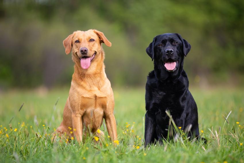 Brązowy i czarny pies rasy labrador z językami na wierzchu siedzące na trawie, a także opinie o labradorze