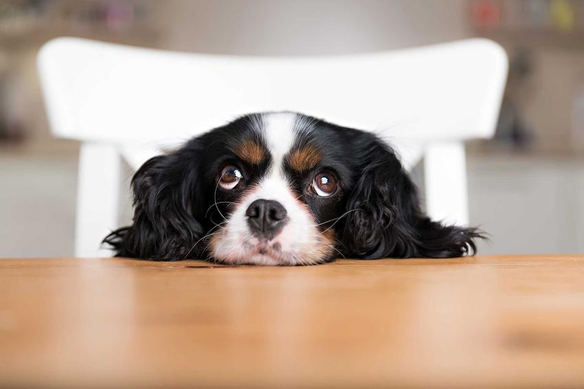 Pies czekający na jedzenie, a także informacje, jak żywić sukę w czasie ciąży oraz podczas laktacji krok po kroku