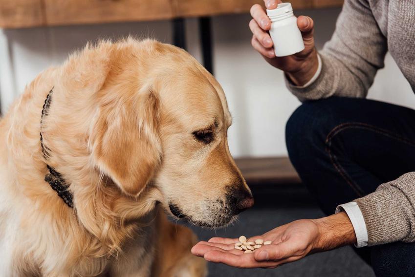 Podawanie golden retriverowi środków na stawy, a także najlepsze tabletki na stawy dla psów