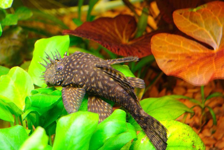 Zbrojnik pospolity w akwarium zjadający glony z liści, a także opis gatunku, wymagania i hodowla